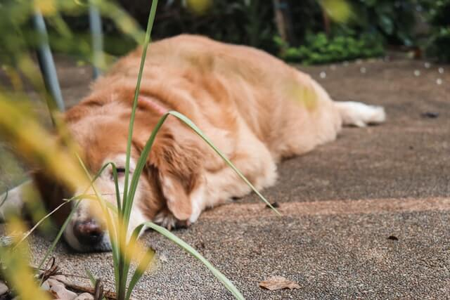 old_golden_retriever_sleeping.jpeg