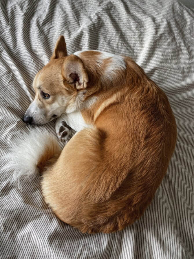 corgi_with_long_tail.jpeg