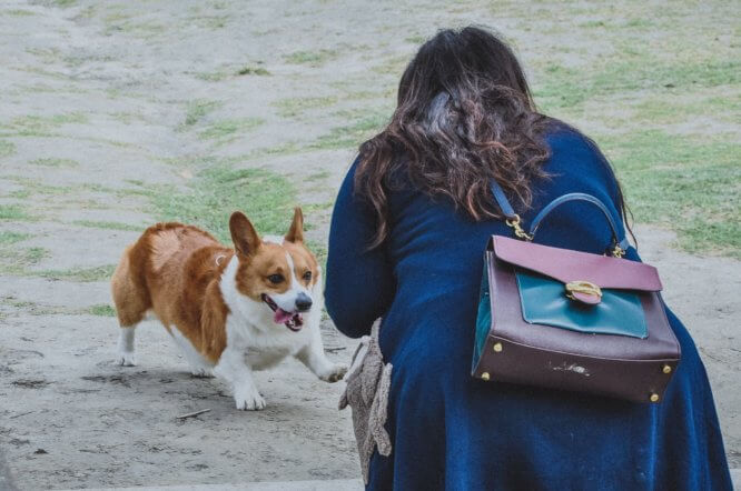 corgi_attack_women.jpeg