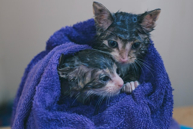 cats_in_damp_towel.jpeg